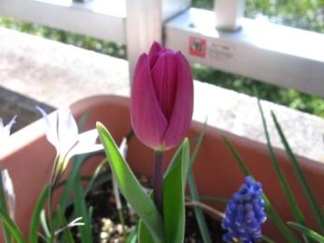 tulip010
